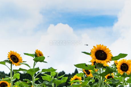 ひまわり 鹿児島市都市農業センター 日本 鹿児島県 鹿児島市の写真素材 [FYI03401619]