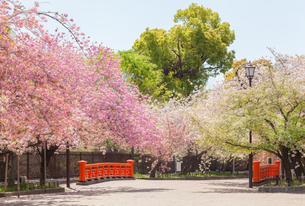大阪造幣局の桜の通り抜けの写真素材 [FYI03401631]