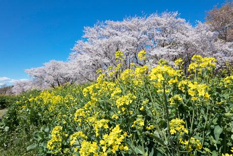 桜と菜の花の写真素材 [FYI03401757]