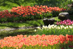 チューリップの花の写真素材 [FYI03401793]