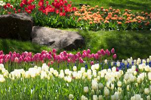 チューリップの花の写真素材 [FYI03401794]