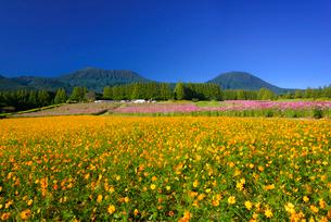 コスモス咲く秋の生駒高原の写真素材 [FYI03401984]