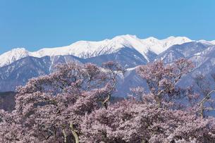 桜と残雪の山の写真素材 [FYI03402065]