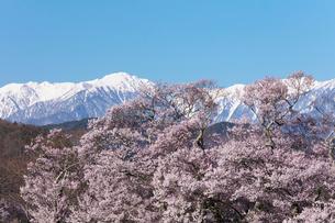 桜と残雪の山の写真素材 [FYI03402066]