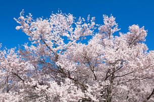 桜の花の写真素材 [FYI03402069]