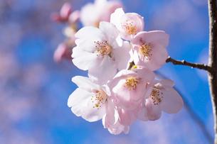 桜の花の写真素材 [FYI03402071]