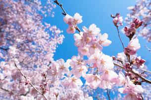 桜の花の写真素材 [FYI03402073]