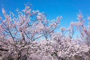 桜の花の写真素材 [FYI03402075]