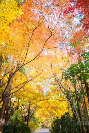 龍安寺参道の紅葉の写真素材 [FYI03402077]