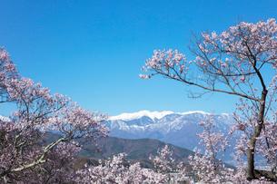 桜と残雪の山の写真素材 [FYI03402086]