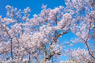 桜の花の写真素材 [FYI03402087]