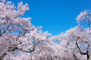 桜の花の写真素材 [FYI03402089]
