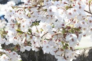 桜の木の写真素材 [FYI03402115]