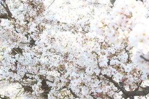 桜の花の写真素材 [FYI03402116]