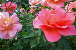 ピンクの薔薇の写真素材 [FYI03402232]