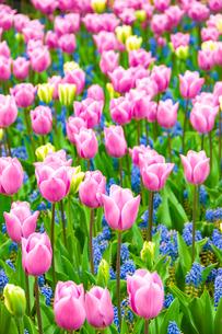 国営昭和記念公園チューリップ花壇の写真素材 [FYI03402362]