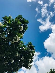 プルメリアと夏空の写真素材 [FYI03402465]