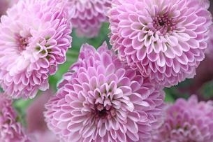 菊のクローズアップの写真素材 [FYI03402521]