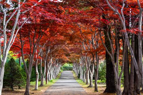 並木道の紅葉の写真素材 [FYI03402536]