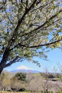 富士山と桜の写真素材 [FYI03402568]