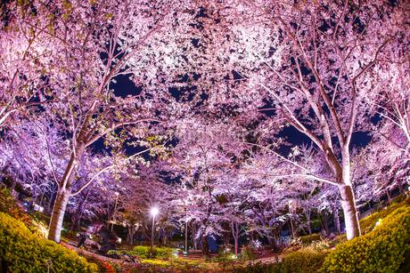 東京ミッドタウンの桜の写真素材 [FYI03402638]