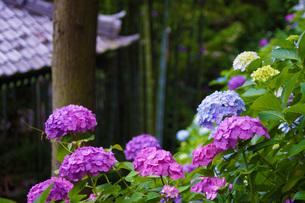 鎌倉・長谷寺の紫陽花の写真素材 [FYI03402643]