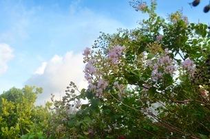 薄ピンクの花と青い空の写真素材 [FYI03402993]