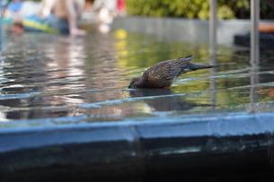 鳥給水中の写真素材 [FYI03403038]