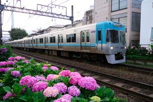 紫陽花が咲く線路を走る電車の写真素材 [FYI03403081]