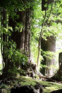 大樹の写真素材 [FYI03403232]