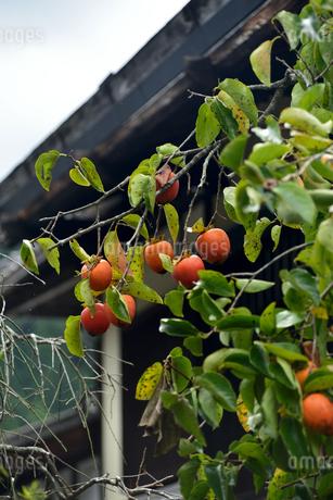 妻籠宿柿の写真素材 [FYI03403305]
