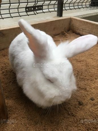 ウサギ②の写真素材 [FYI03403409]