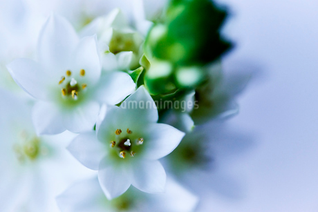 白い花の写真素材 [FYI03403493]