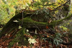 苔生した倒木の写真素材 [FYI03403552]