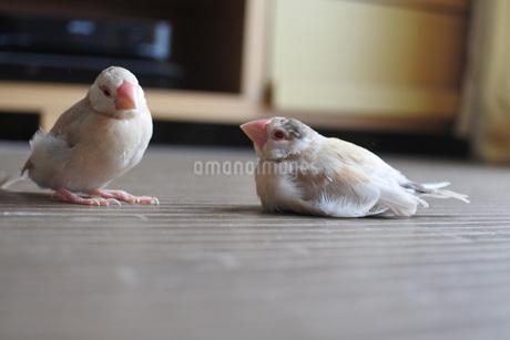 床の上のシナモン文鳥の写真素材 [FYI03403687]