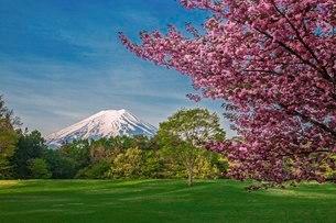 桜と富士山 日本 山梨県 富士吉田市の写真素材 [FYI03404085]
