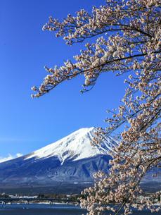 桜と富士山 河口湖 の写真素材 [FYI03404098]