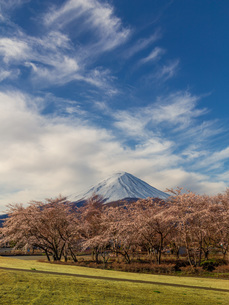 桜と富士山 日本 山梨県 富士河口湖町の写真素材 [FYI03404107]