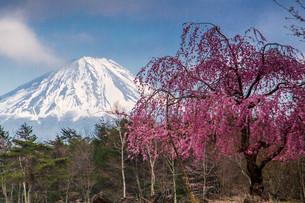 桜と富士山 西湖 (富士五湖) 日本 山梨県 富士河口湖町の写真素材 [FYI03404111]