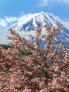 富士山と桜 日本 山梨県 鳴沢村の写真素材 [FYI03404129]