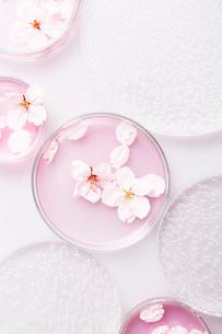 アクリル板とシャーレに入ったピンクの液体とサクラの花びらの写真素材 [FYI03404196]