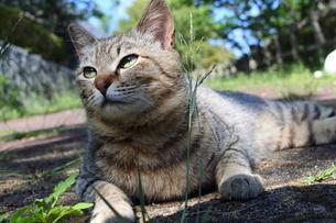 ハンサムポーズなネコの写真素材 [FYI03404220]