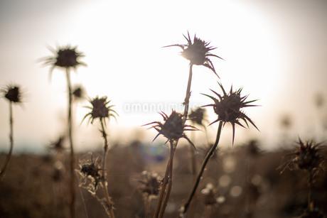 日没前の光を前に、野に咲く乾燥したアザミの花の写真素材 [FYI03404450]