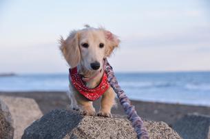 遠くを見つめる仔犬の写真素材 [FYI03404545]