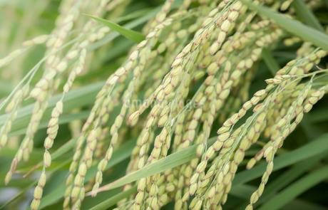 水田で栽培されている餅米の写真素材 [FYI03404688]