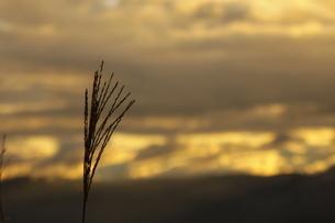 夕暮れのススキの写真素材 [FYI03405042]
