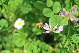 レンゲの花に集まるミツバチの写真素材 [FYI03405211]