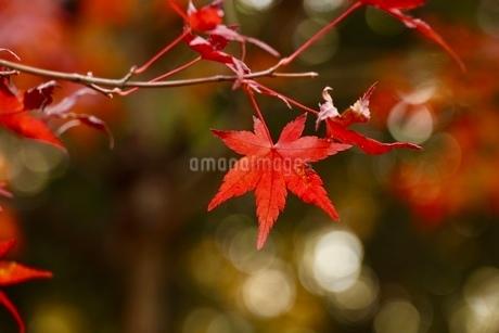 真っ赤なモミジとまんまる玉ボケの写真素材 [FYI03405349]