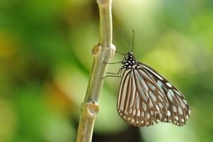 蝶 足立区生物園の写真素材 [FYI03405363]