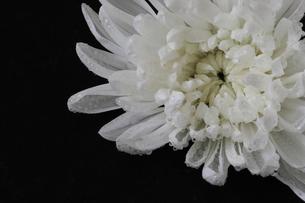 菊の写真素材 [FYI03405542]